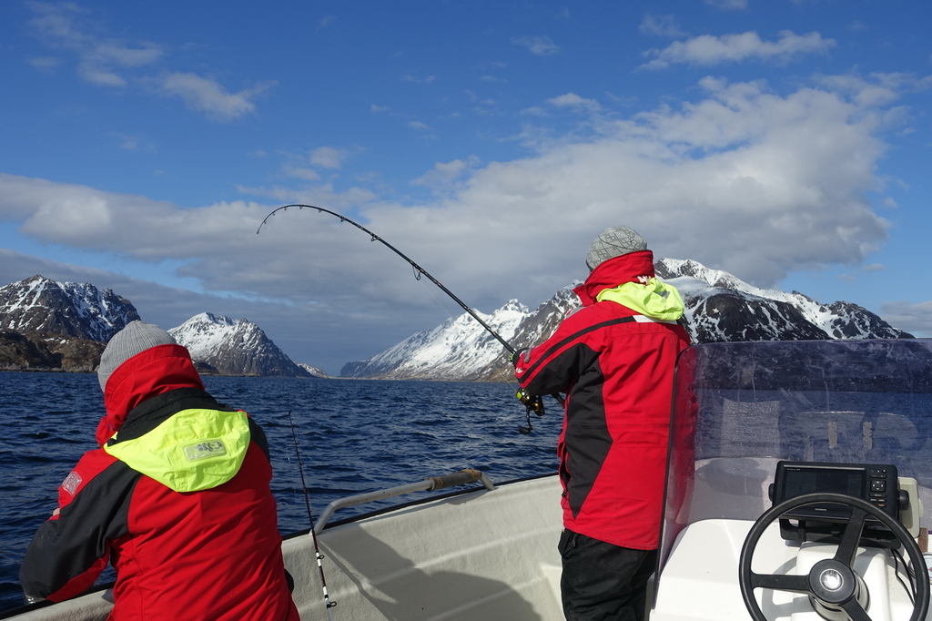 /pictures/molnar/FS/4-skrei fighting-Lofoten-7.JPG